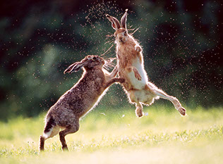 Male hares in spring.