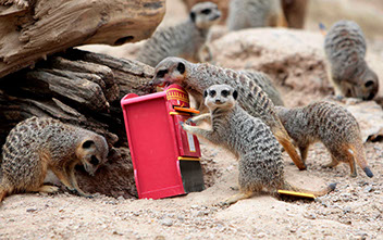 Zoo meerkats give UK postal voters a 'simples' reminder