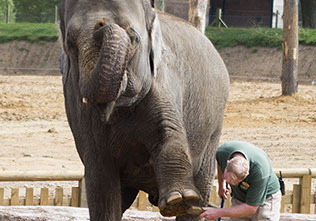 Elephant cleaning