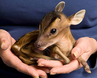 This tiny deer has been christened Rupert